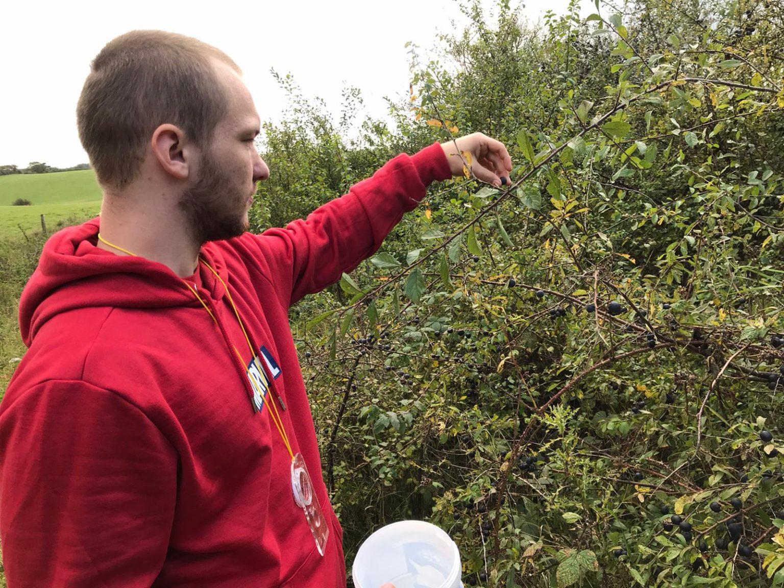 Picking Sloe Berries at Cleeve